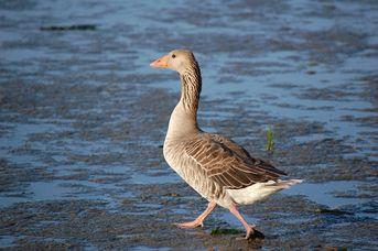 Vögel im Weltnaturerbe Wattenmeer